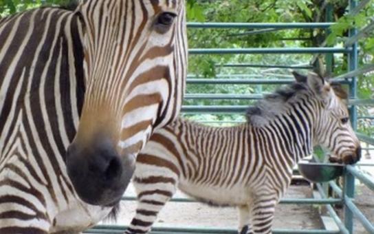 Zoo v Ústí nad Labem má další dvě hříbata zebry Hartmannové