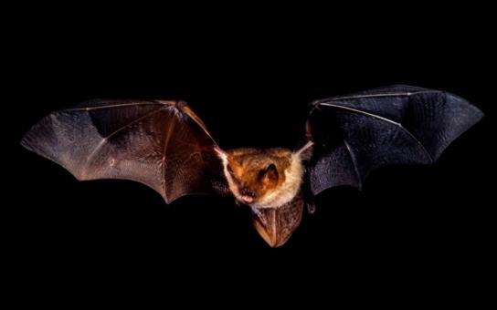 """Netopýří noc na Kladské nahlédne netopýrům """"do kuchyně"""