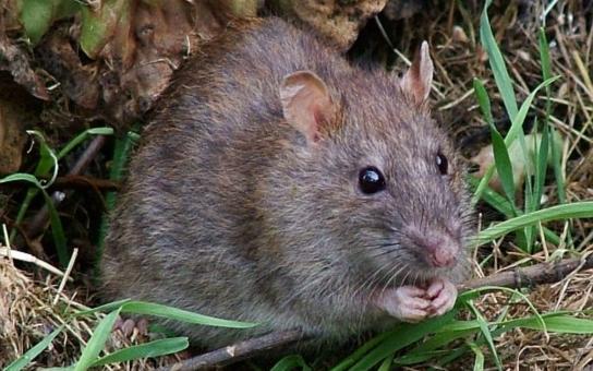 V Kroměříži bude opět probíhat deratizace potkanů