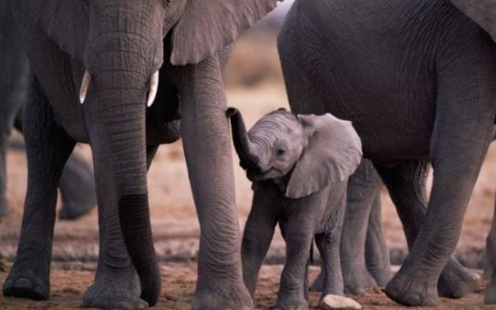 Sloní samičku z Ostravy pravděpodobně čeká smutný osud