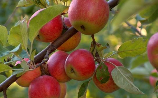 Letošní úroda bude chudá, shodují se ovocnáři. Zvoní českým sadům umíráček? Stovky procent marže si ale přičtou nenažrané obchodní řetězce...