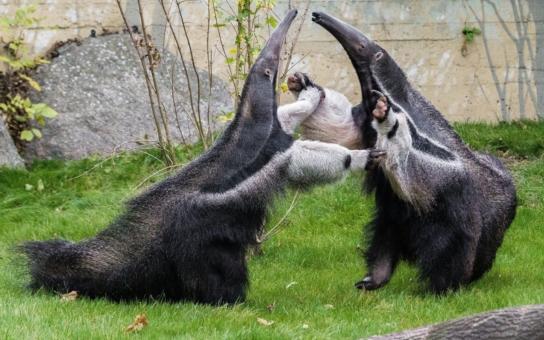 Narodily se malé surikaty, gorilák Richard oslavil narozky, mravenečník a mravenečnice se konečně setkali čenichem v čenich. Také jak ušetřit na vstupném… Horké novinky ze zoo