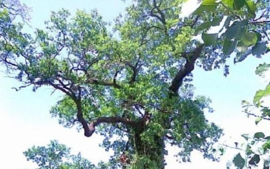 Doslova VIP péče pro duby na Pardubicku... Lesníci si zahráli na horolezce