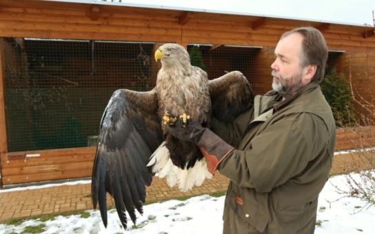 Uzdraveného orla mořského vypustili v Makově do přírody. Hlídá ho vysílačka