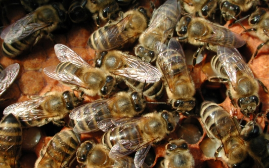 Na krajském úřadu v Liberci se zabydlí živé včely. Úředníci jim připravují prosklený úl, aby lidé věděli, kterého hmyzu kriticky ubývá