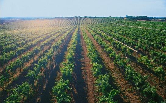 Jihomoravský kraj pomůže se založením ukázkové vinice. Jako hlavní nositel pěstování révy směřuje na podporu vinařů a vinohradníků šest milionů korun