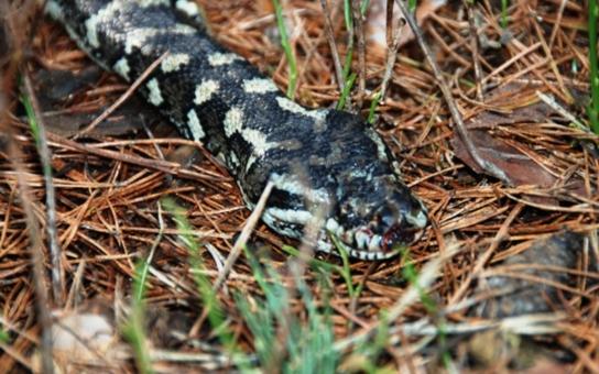 V hradeckých  lesích někdo odhodil dvoumetrové exotické hady. Oba uhynuli zimou. Přitom stačilo zavolat 156