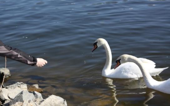 Správci boleveckých rybníků vyzývají veřejnost: Nekrmte labutě! Co můžete způsobit? Nebude vám z toho dobře