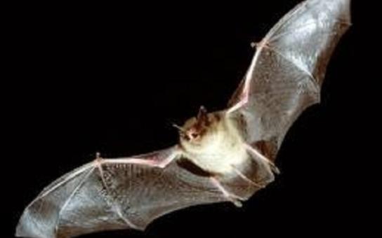 V Olomouci sčítají městské netopýry. Proč je dobré znát, kde noční opeřenci vytvářejí kolonie?
