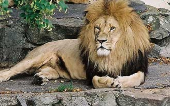 Basilejský lví král už pobíhá ve velkém výběhu, pomohla tomu kachna. Na dámy si rychle zvykl