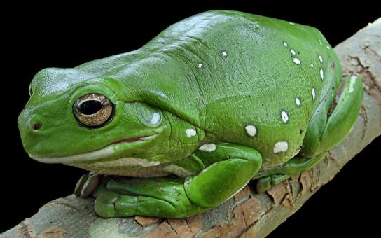 Jihočeši zachraňují žáby na Americe. Pro řidiče to znamená omezení, pro dobrovolníky příležitost přidat ruku k dílu