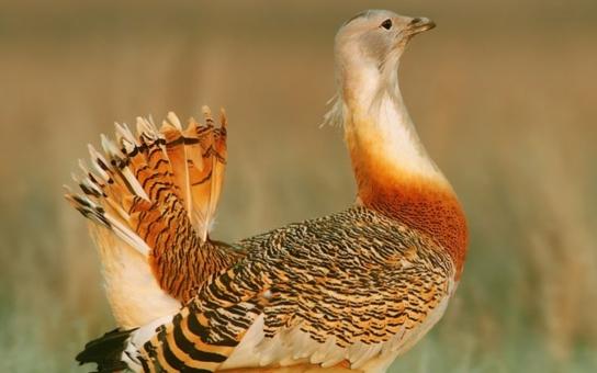 Na Znojemsku byl spatřen nejtěžší evropský pták, který před 20 lety vymizel. Zázrak? Čtěte, co vše nejen ochránci přírody dělají, aby ho zde udrželi