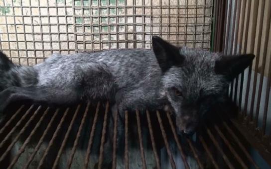 Fotky a videa jen na vlastní nebezpečí, možná se vám zvedne kufr… Záběry z českých farem, kde mučí zvířata jen proto, aby boháči měli luxusní pravé kožichy