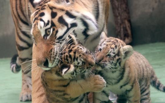 Výstava o tajemné Indonésii, mobilní aplikace, tygříci na vycházce.... Pestrá ochutnávka novinek z olomoucké zoo