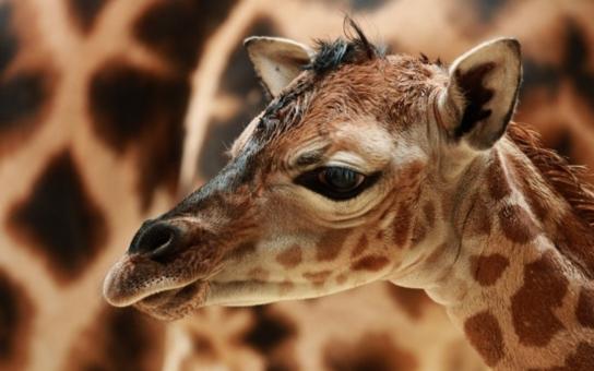 Liberecká zoo má nový přírůstek: Samička právě narozené žirafy Rothschildovy má jméno Anastasia. Máme video i přesné porodní míry