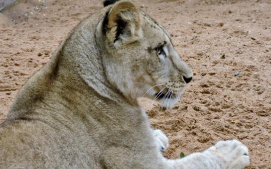 Plzeňská zoo má atraktivní přírůstek, získala dvě roční lvice. Jmenují se Tamika a Neyla