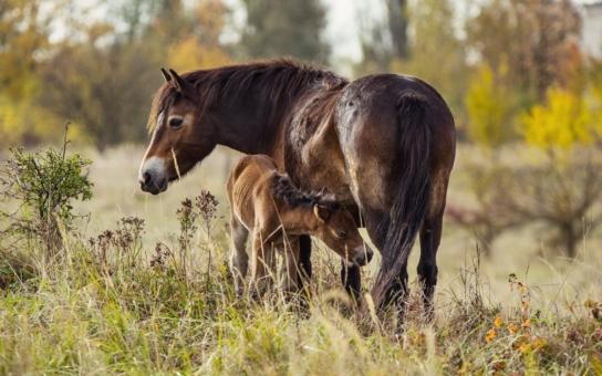 Drama na pastvině: Proti hřebci bránily malou klisničku všechny tety společnými silami