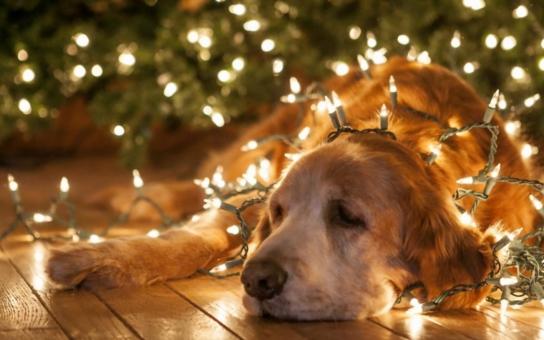 Mezi spadaným listím kvetou sedmikrásky. No a co, u klokanů zase slaví Vánoce na pláži. Tak šťastné a veselé!