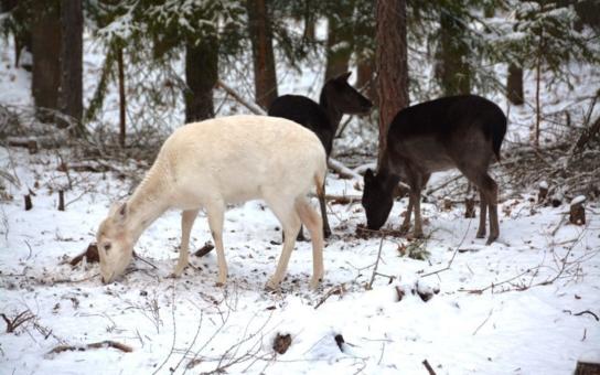 Populární hradečtí divočáci Pepina a Bob mají nové sousedy. V městských lesích můžete pozorovat i muflony, stěhování trojice bylo ale pořádně napínavé