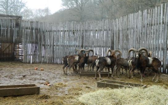 34 muflonů střelily za pouhých 150 tisíc! Českým muflonům navíc připravili tvrdou zkoušku, v Bulharsku na ně čekají vlci, medvědi a lovci. Lesy ČR se snad zbláznily