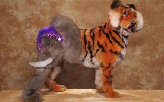 Fakt magoři: Z pudla vyrobili tygra, který má na zadku slona. Někteří páníčci jsou blázni, koukněte, co je v Americe také možné. U nás zas máme Psího detektiva
