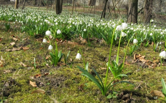 V táborské botanické zahradě začínají nakvétat bledule, sněženky a další jarní květena. Je to opravdu nádherná podívaná