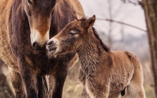 Je to kluk jako buk! První šťastná událost u divokých koní nastala dnes v 10:55. Mrkněte, máme fotky!