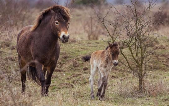 Další hříbátko u divokých koní se opět narodilo v neděli a zase má neodolatelně dlouhé nožky. Tím ale 'úroda' teprve startuje, otec se totiž opravdu činil. Jaký dárek dostane stádo za odměnu?