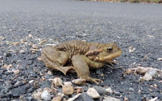 Žáby se milují, řidiči neprojedou. V lokalitě U Vodáka dostali obojživelníci přednost. Pomáhají jim naváděcí zábrany, a dokonce i speciální podchod