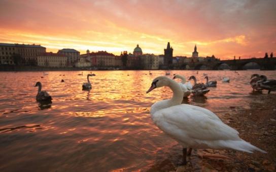 Tohle jste možná nevěděli. Co máte raději, ohňostroje a petardy, nebo labutě? Každou světelnou show nad Prahou platí tito chránění ptáci svými životy. Minulý týden zahynuli další dva
