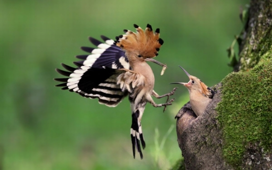 Ani nedutají, jen chrní? Speciální budky pro ohrožené dudky připravili ornitologové v milovické rezervaci. Podmínky jako na pastvinách divokých koní tito vzácní ptáci nikde jinde nenajdou