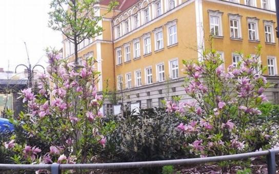 Oba Těšíny na české i polské straně hranice jsou po více než dvě staletí městy magnolií, které dříve bývaly symbolem bohatství a společenského postavení. Radnice se v těchto dnech utápí v záplavě skvostných květů