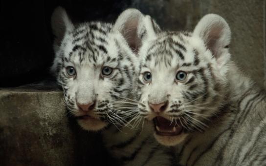 Liberecká zoo pokřtí v sobotu bílá tygřata, o jejich jménech je už rozhodnuto. Jste na ně zvědaví? Přijďte se podívat