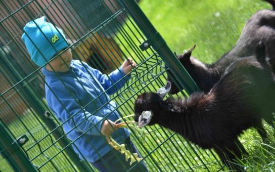 Dětský den v bohumínském Hobbyparku slavnostně odstartuje provoz Mauglího ranče. Kamerunské kozy a ovce se do něj přistěhovaly z ostravské ZOO, největší atrakcí farmy s domácími zvířaty jsou pávi