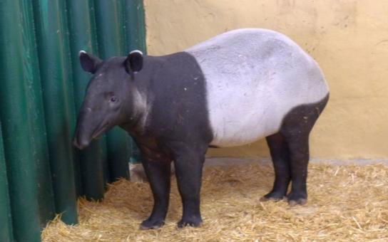 Krasavec Mekong ze skotského Edinburghu se usadil natrvalo v Ústí nad Labem. Vzácný dvouletý tapír čabrakový je prozatím nájemníkem u nosorožců a netrpělivě čeká na nové bydlení a příjezd vhodné partnerky