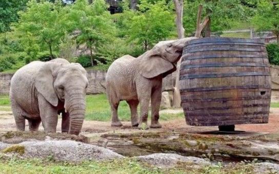 Mladé slonice ze zlínské ZOO se intenzivně připravují na mateřství. Konkrétní obrysy dostává i budování jejich nového domova, který bude součástí plánovaného afrického pavilonu