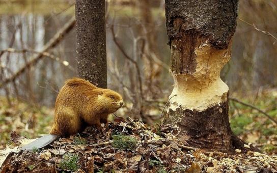 Kraj proplatí žadatelům škody, způsobené chráněným bobrem. Peníze, které byly poukázány ze státního rozpočtu, se nyní dostanou ke dvěma příjemcům