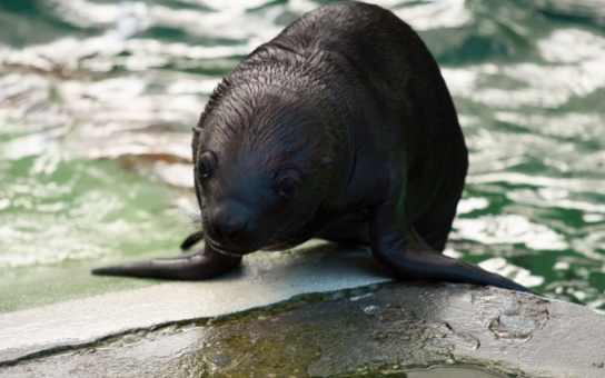 Příběh s dobrým koncem: Liberecké lachtance Amalii už je rok, ještě na prahu letošního jara se ale zdálo, že zoo o toto mládě nenávratně přijde. Kritické časy zvládla jen díky péči ošetřovatelů