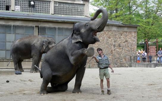 Nejmohutnější miláčci všech zoologických zahrad mají v pátek svůj velký den. V Liberci ho s nimi můžete oslavit na speciální Sloní stezce a nahlédnout i do zákulisí jejich pavilonu