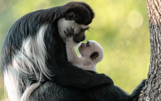 Mami, proč vypadám jinak než ty? A dáš mi pusu? Podívejte na dojemnou fotku opičí mámy - guerézy pláštíkové se svým mládětem, jsou k sežrání