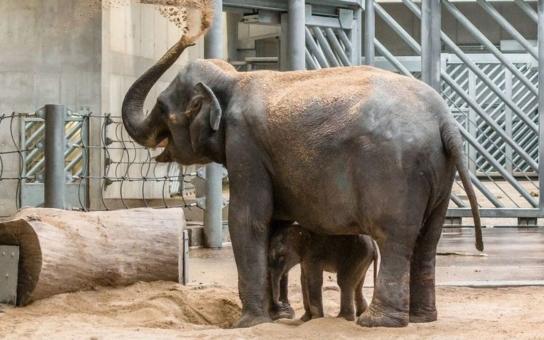 Velkolepá událost v pražské Tróji se dá přirovnat k zázraku. Je to kluk jako buk, vedle gigantické maminky ale vypadá jako plyšáček na hraní. Podívejte se na fotky úplně čerstvého slůňátka