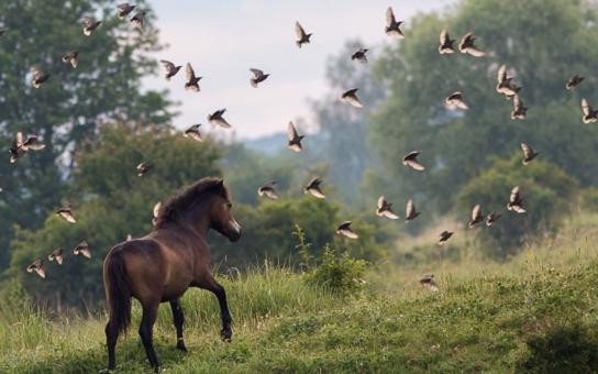 Divoký kůň unikl smrti jen o vlásek... Právě teď dorazila alarmující zpráva: Ochránci objevili v unikátní milovické rezervaci smrtící oka; o životy zubrů a divokých koní usilují mafiáni