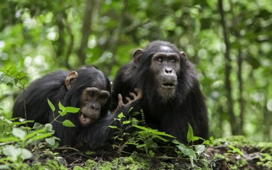 Přepíšeme učebnice? Nezištně prý umějí jednat jen lidé... Němečtí vědci ale objevili lidoopy, šimpanze z Pobřeží slonoviny, kteří běžně adoptují sirotky, opuštěná mláďátka