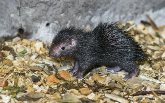 Je malý a roztomilý, ale pozor, brzy mu narostou ostré ostny. Jmenuje se Miro a osobně ho pokřtil známý cestovatel, etnograf a spisovatel Miloslav Stingl