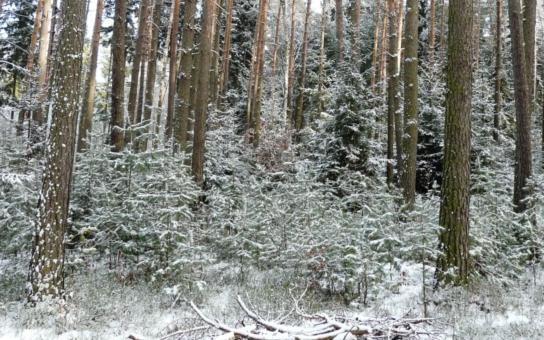 Lesy ČR opět chystají vánoční stromky dětem. Loni byl největší zájem na Teplicku, kde šestnáct zařízení požádalo o 29 stromků. Letos se zájemci mohou hlásit až do 5. prosince, stromečky jim lesníci přivezou do 20. prosince