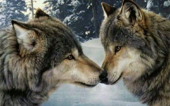 V Návštěvnickém centru Srní budeme moci pozorovat noční život vlků ve vysoké kvalitě. Novou videokameru dostal NP Šumava od kraje
