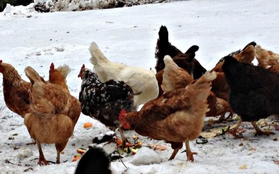 Důležité, čtěte: V ČR byl po téměř deseti letech potvrzen výskyt ptačí chřipky. Pro veřejnost zřídili jihomoravští veterináři krizovou linku 720 995 213