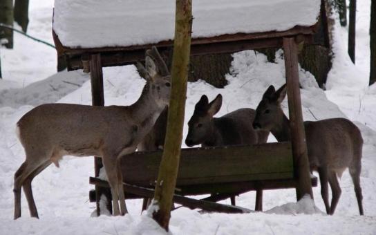 Myslivcům přibyla práce, sníh a tuhé mrazy komplikují život zvěři. Množství krmiva, které beze zbytku využije, je obdivuhodné