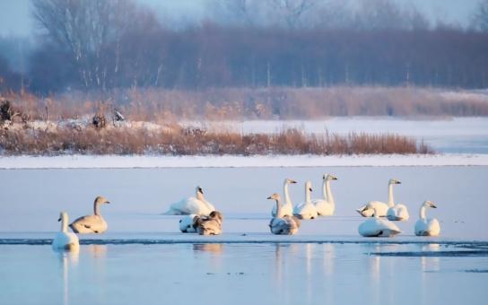 Na ptačí chřipku doplatily už i obdivované labutě. Karlovarský kraj nákaze do poslední chvíle odolával, ale už se přenesla i tam