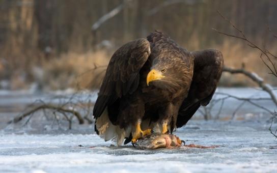 Potvrzeno – orly mořské na Tachovsku zabil karbofuran! Jeden z kriticky ohrožených ptáků byl teprve teenager